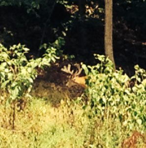 Magnificent buck visits CF Smith, near hives